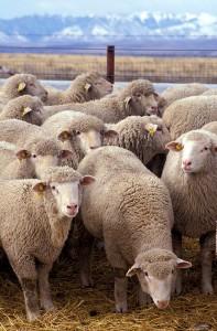 Flock_of_sheep